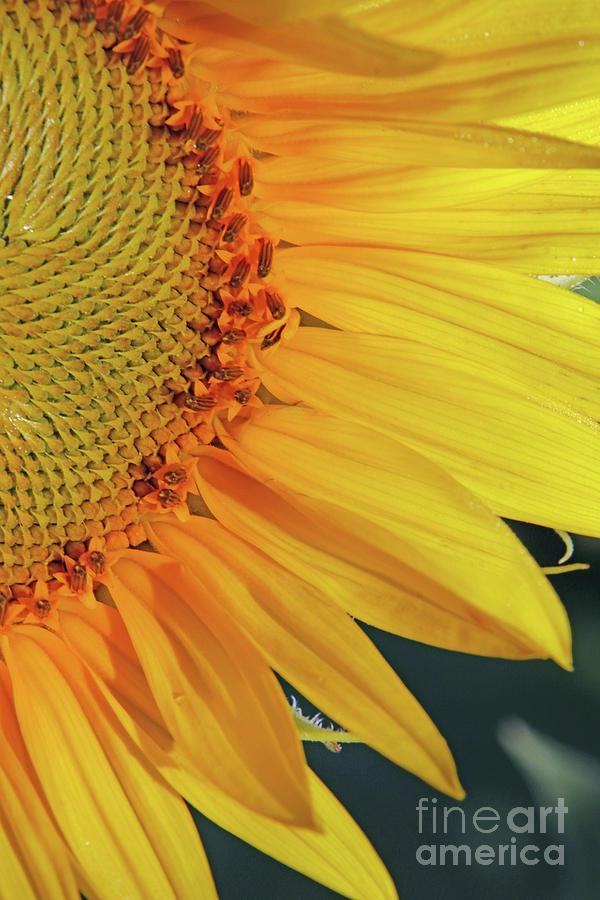 Sunflower Macro  1423 Photograph