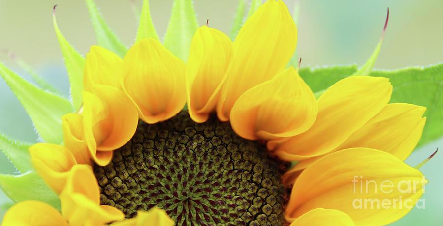 Sunflower Shapes 3892 Photograph