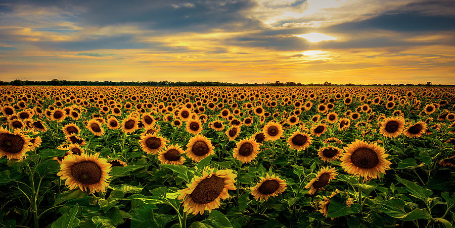 Sunflower Sunset Photograph