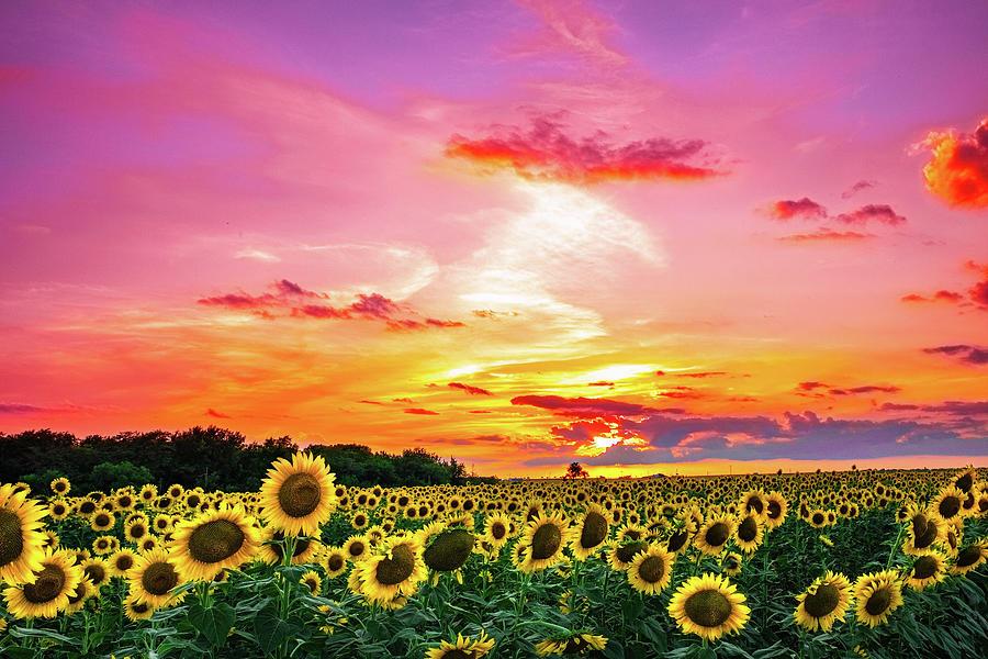 Sunflower Photograph - Sunflower Sunset III by KC Hulsman