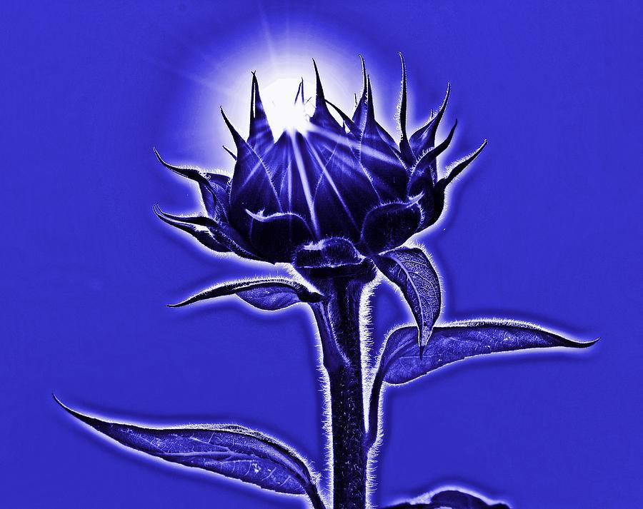Sunflower by Thomas Schroeder