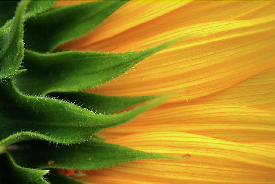 Sunflower Photograph by Trevor Slauenwhite