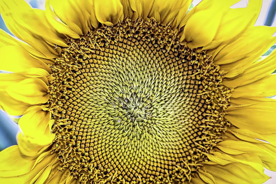 Sunflower Up Close Photograph by Eden Watt