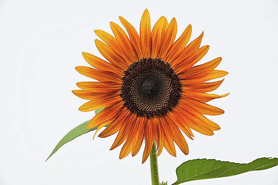 Sunflower White Sky Photograph