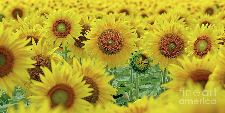 Sunflowers  0158 Photograph