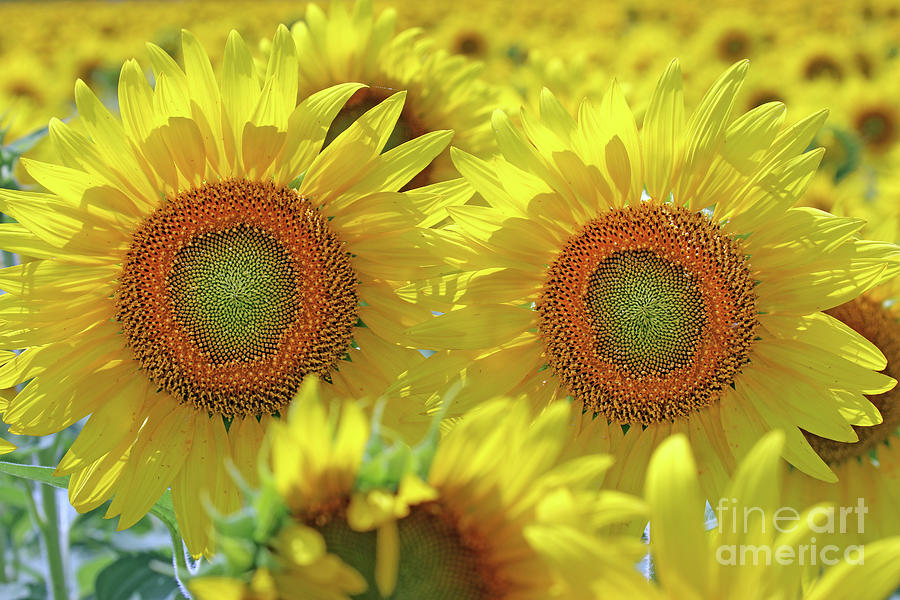 Sunflowers  0166 Photograph