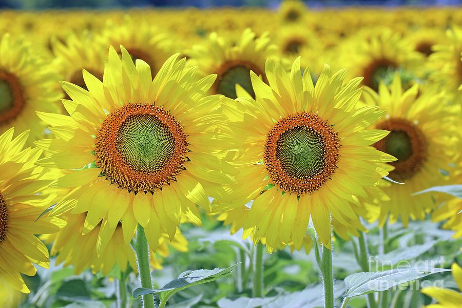 Sunflowers  0170 Photograph