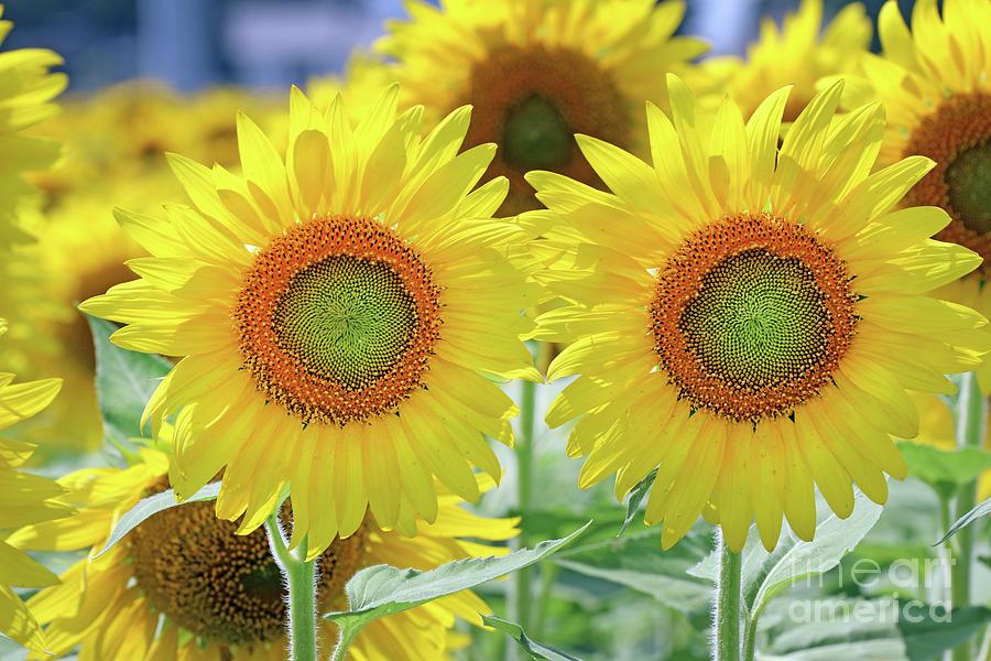Sunflowers 0173 Photograph