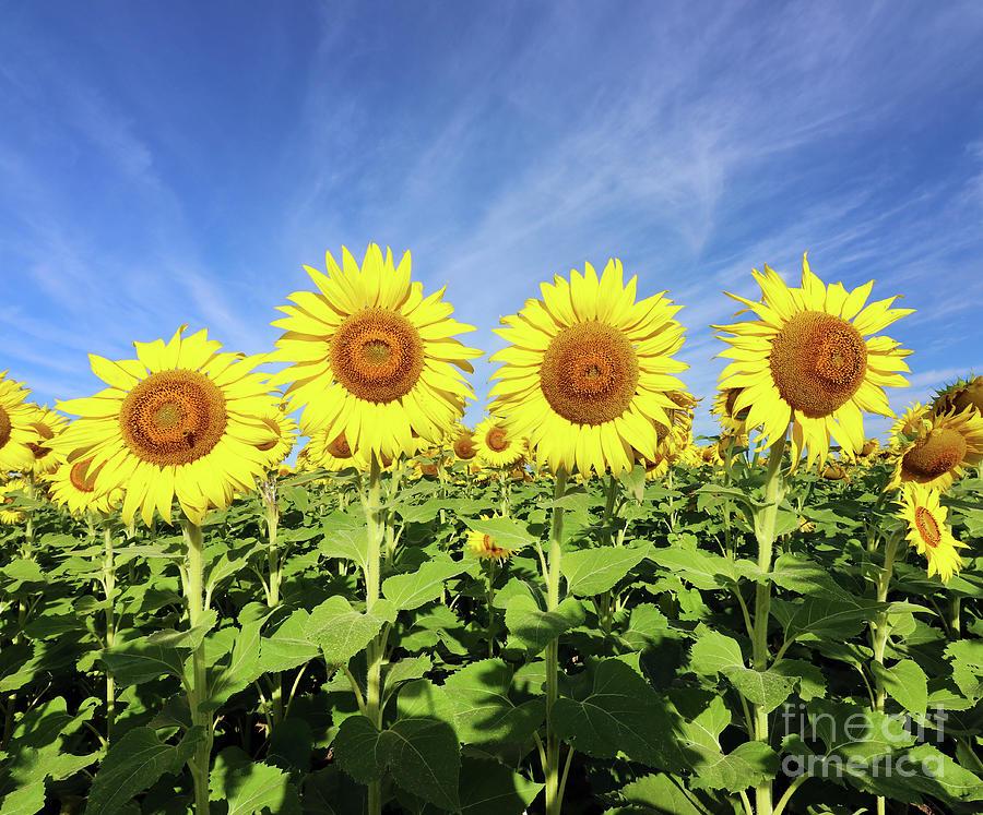Sunflowers  0459 Photograph