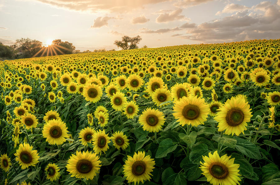Sunflowers at Sunset by Thomas Gaitley