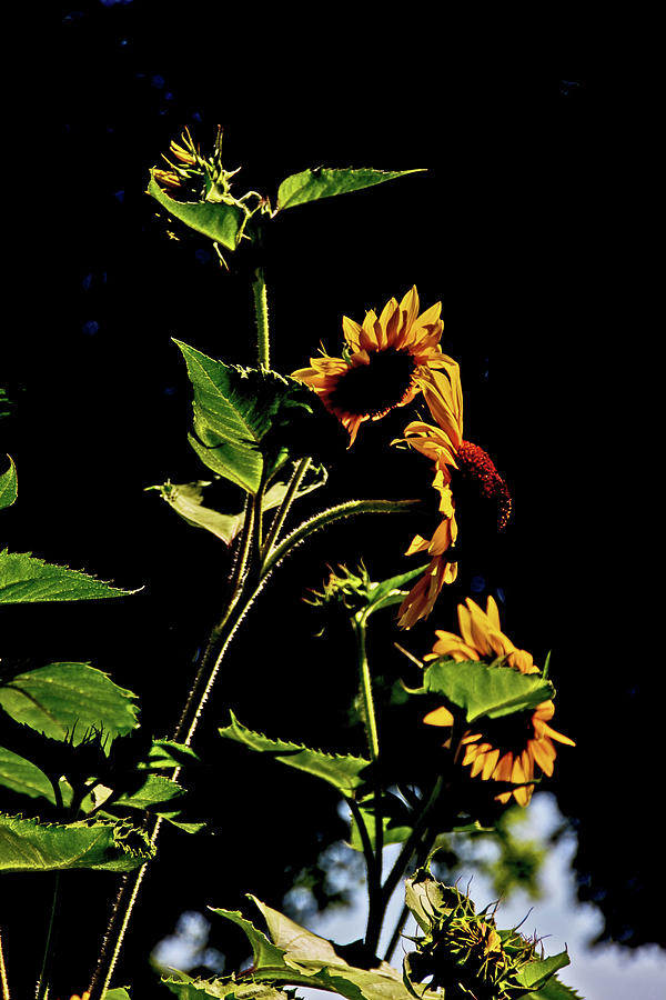 Sunflowers backlit August Columbus 2014 2 4282020 3780 Photograph by David Frederick