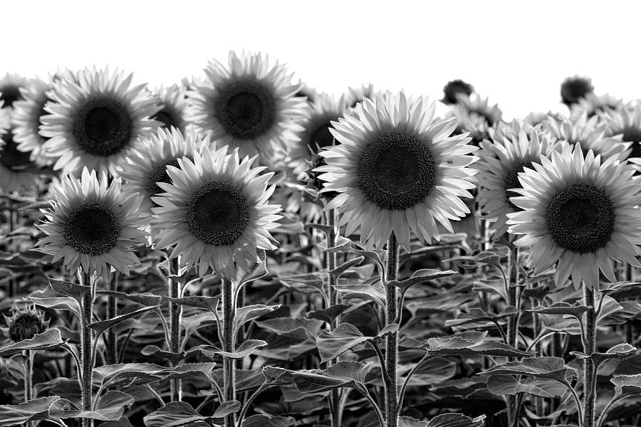 Sunflowers Photograph - Sunflowers Bw by Carl Simmerman