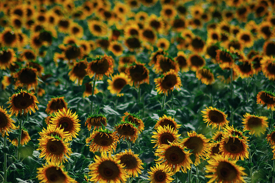 Backlight Photograph - Sunflowers Field by Vicente Sargues