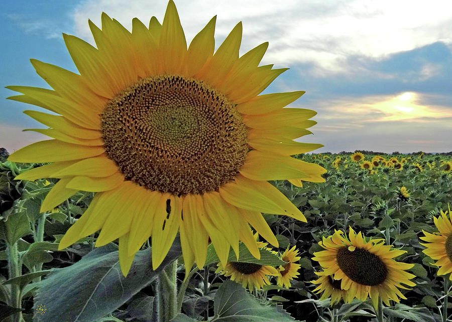 Sunflowers for Days Photograph by Staci Grimes