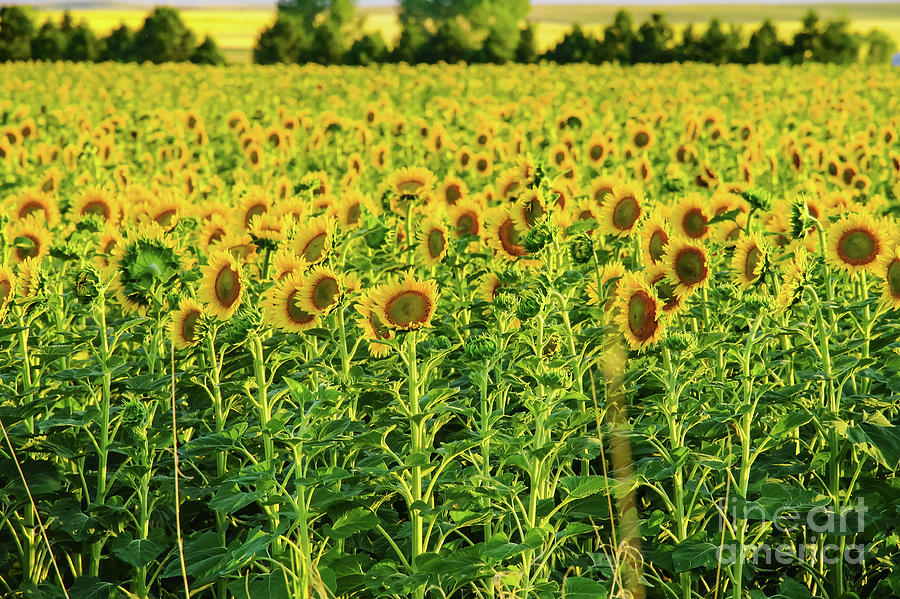 Sunflowers Photograph - Sunflowers In A Field by Jeff Swan