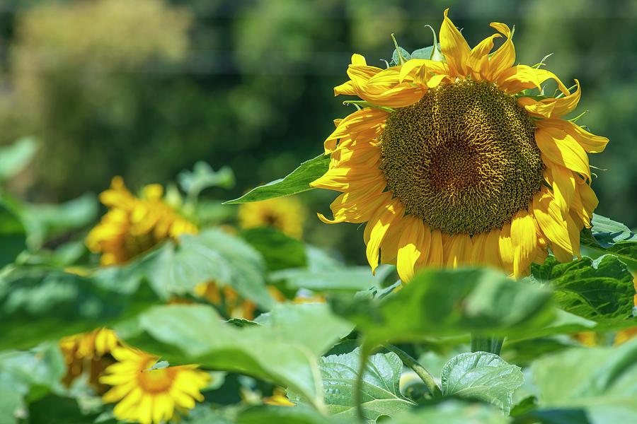 Sunflowers In Megiddo 4 Photograph