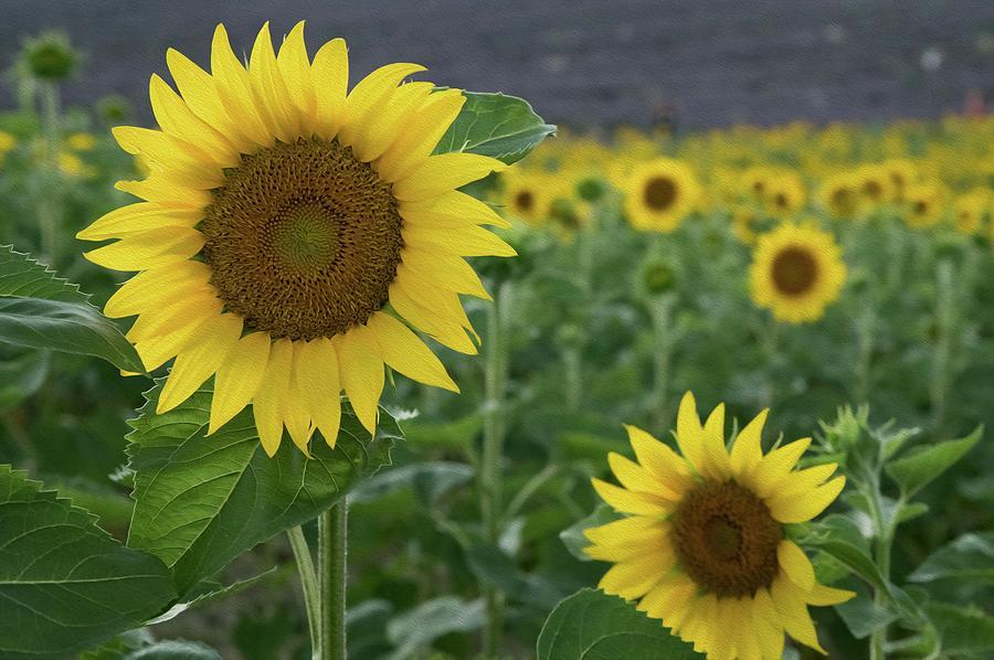 Sunflowers In Provence Digital Art
