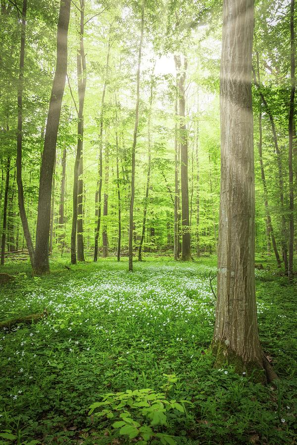 Sunlight In The Woods Photograph