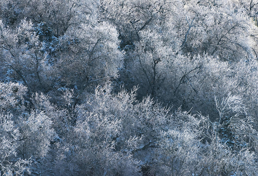 Sunlit Icy Trees Photograph