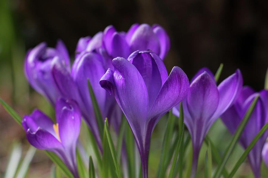 Sunlit Purple Crocus Flowers, Crocus Tommasinianus Photograph