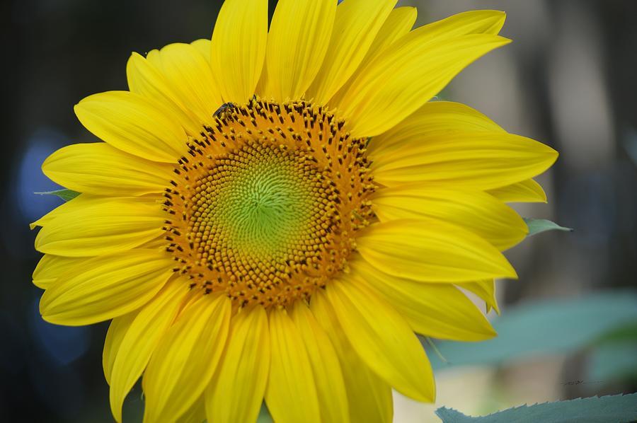 Sunny Sunflower Photograph