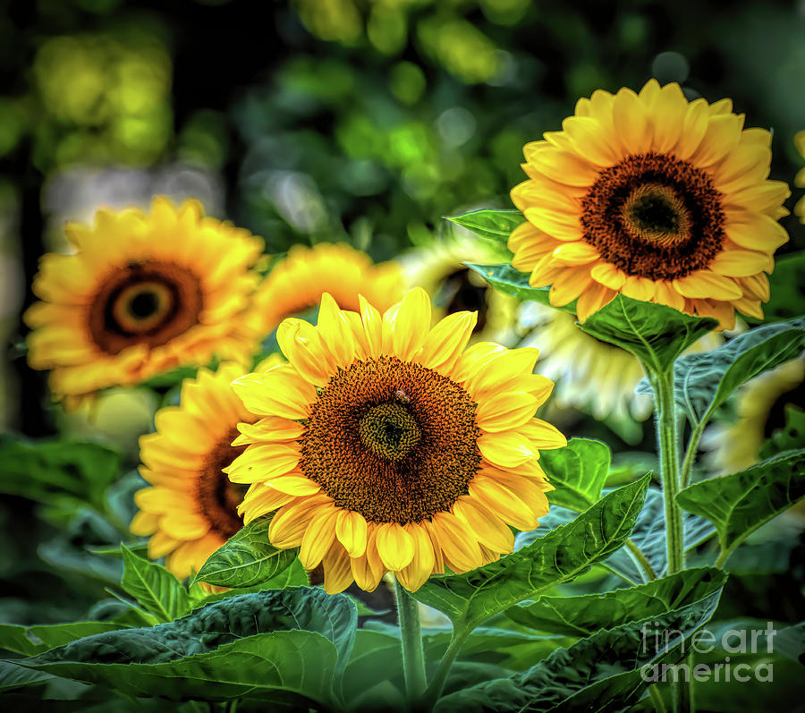 Sunny Sunflowers To Brighten Your Day Photograph