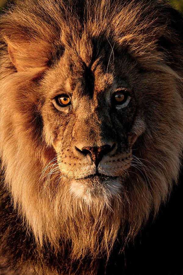Sunrise Golden Lion Photograph