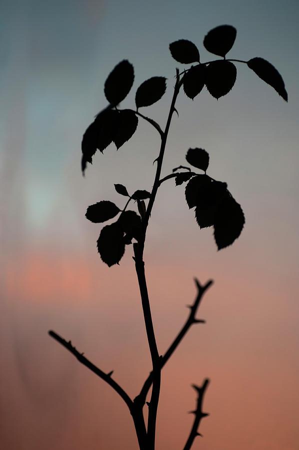 Sunrise Rose by Jenny Rainbow