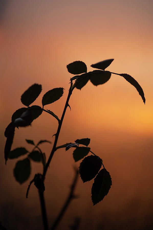 Sunrise Rose Silhouette 1 by Jenny Rainbow