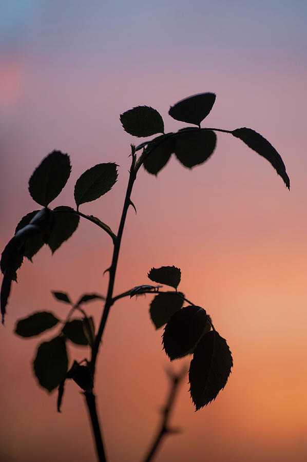 Sunrise Rose Silhouette 2 by Jenny Rainbow