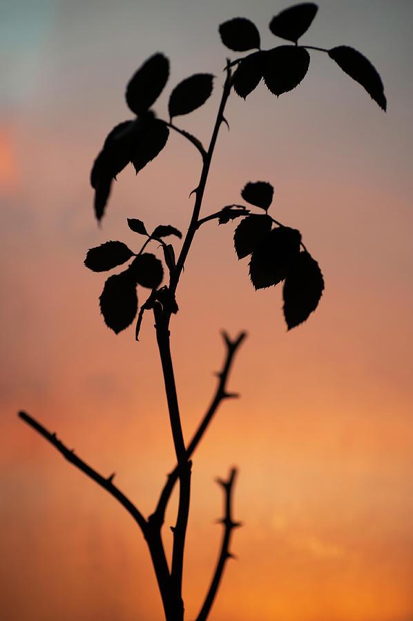 Sunrise Rose Silhouette  by Jenny Rainbow