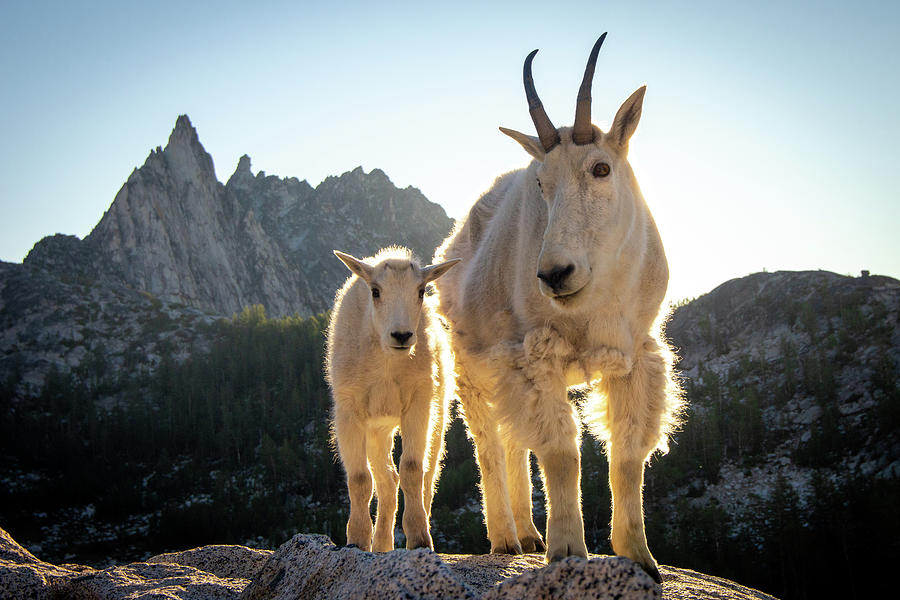 Mountain Goats Photograph - Sunrise with the Locals by Jake Sublett