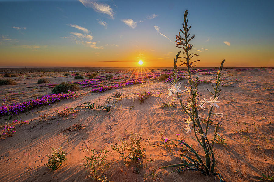 Sunset Desert Lily Photograph