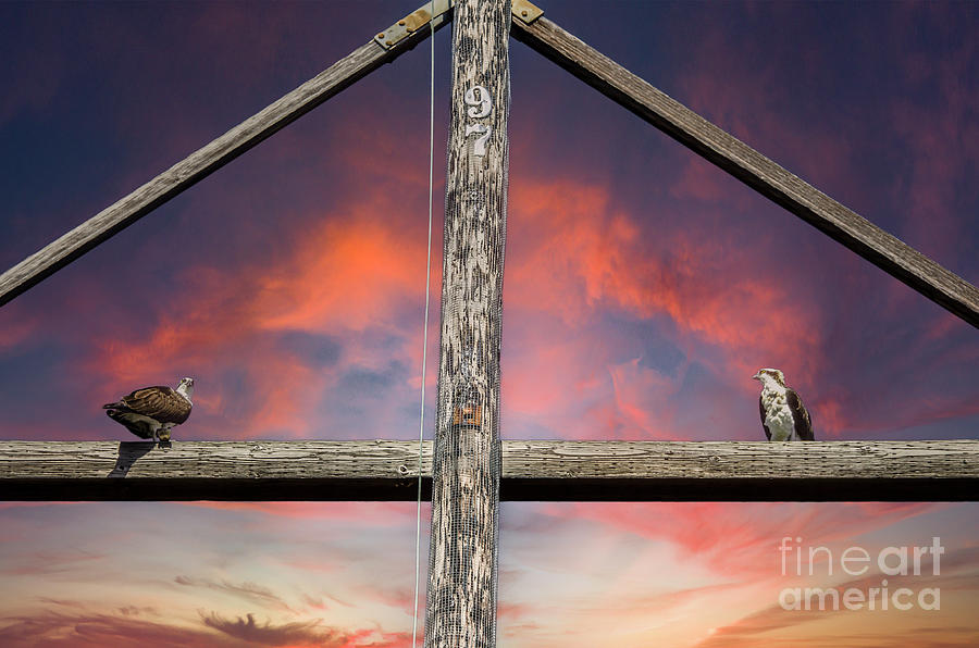 Sunset Raptors - Sea Hawks Photograph