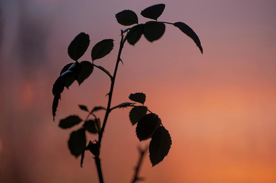 Sunset Rose by Jenny Rainbow