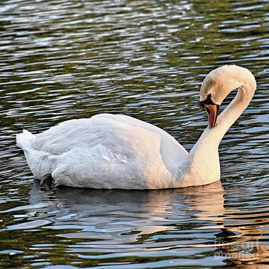 Sunset Swan Photograph