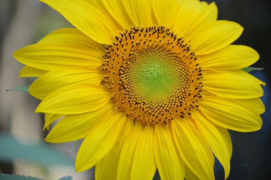 Sunshine Sunflower Photograph