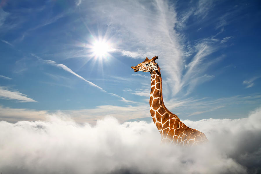 Surreal scene with huge giraffe through the clouds. Aerial view, abstract conceptual image. Photograph by Anton Petrus