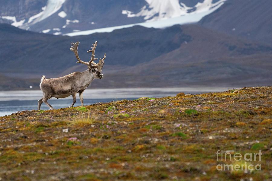 Rangifer Tarandus Photograph - Svalbard Reindeer Rangifer Tarandus K4 by Eyal Bartov