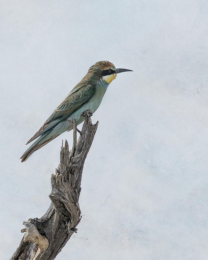 Swallow-tailed Bee-eater by Belinda Greb