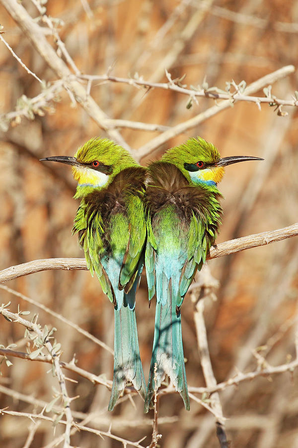 South Africa Photograph - Swallow-tailed Bee-eaters by MaryJane Sesto