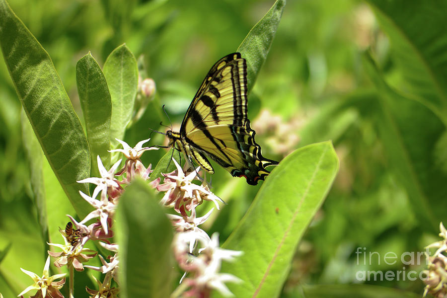 Swallowtail In Milkweed Photograph