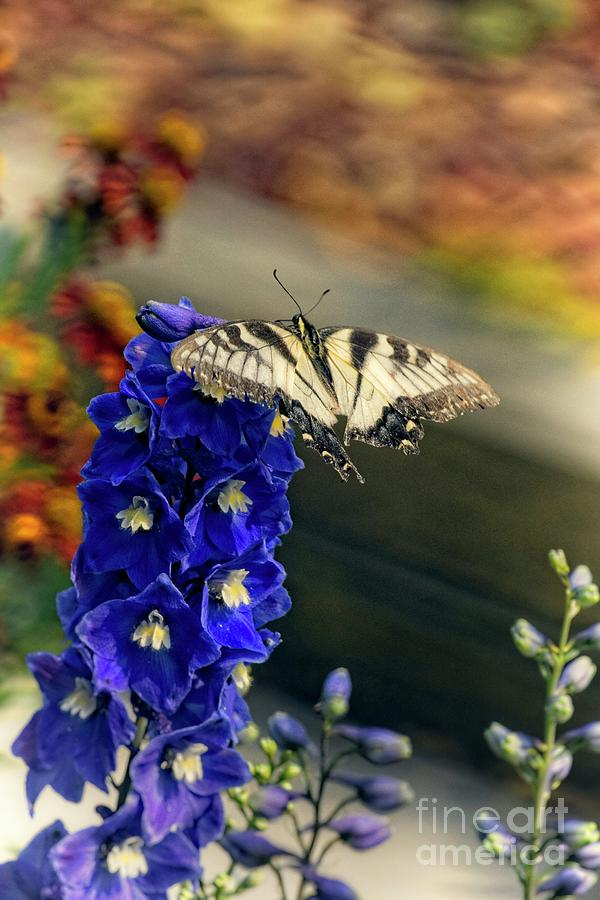 Swallowtail On Delphinium Photograph
