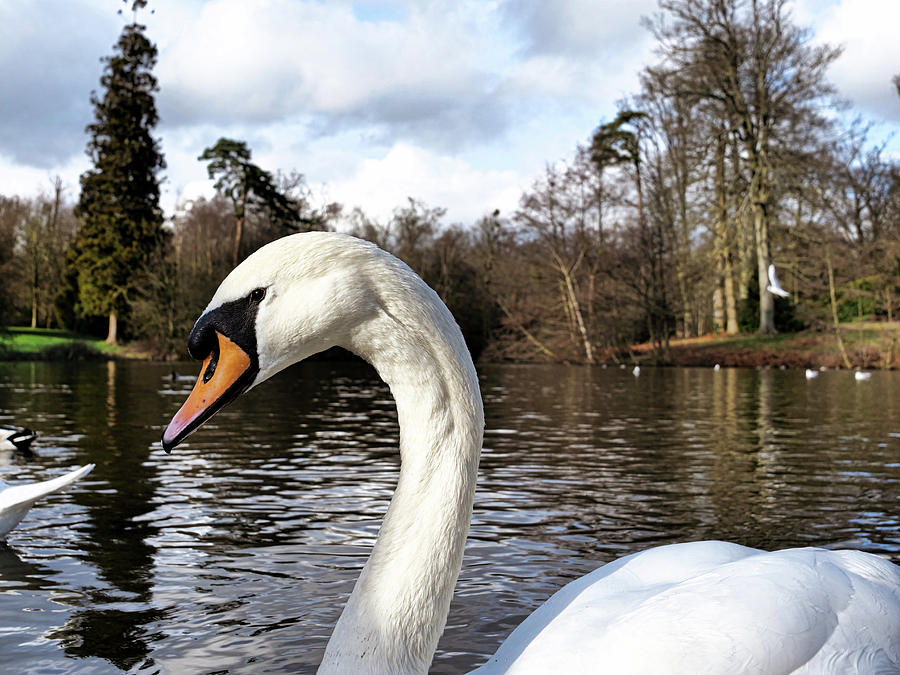 Swan looking straight into my eyes by Santosh Puthran
