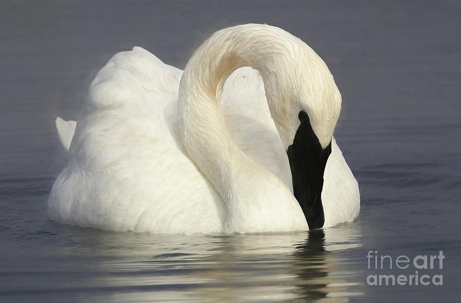 Swan - Trumpeter Painting