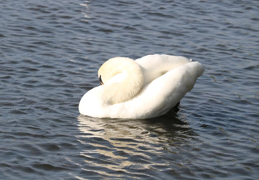 Swan Tuck Photograph