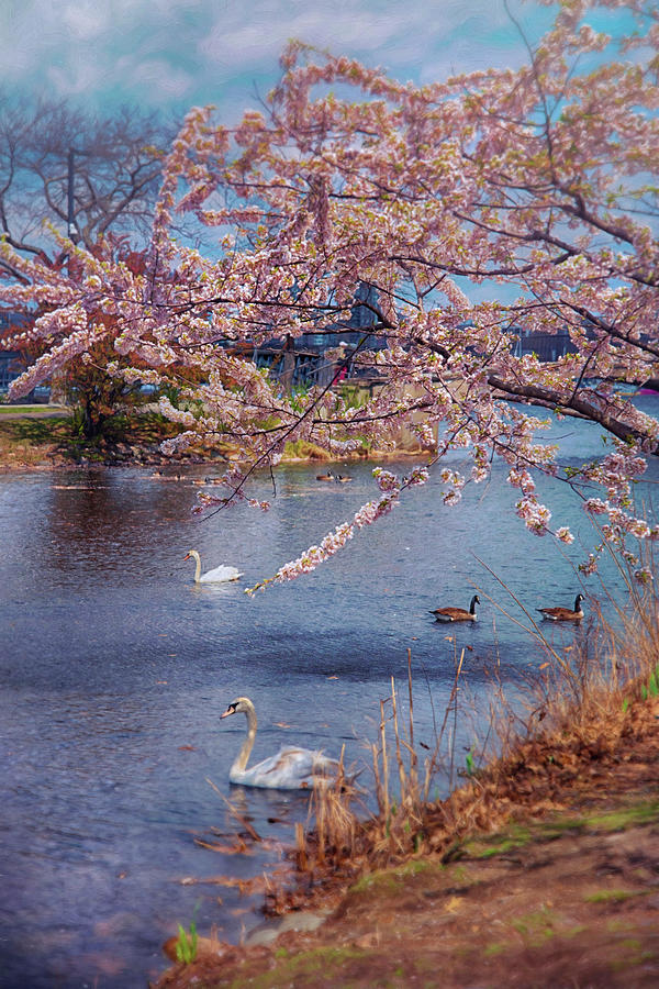 Swans And Cherry Blossoms On The Esplanade - Boston Photograph