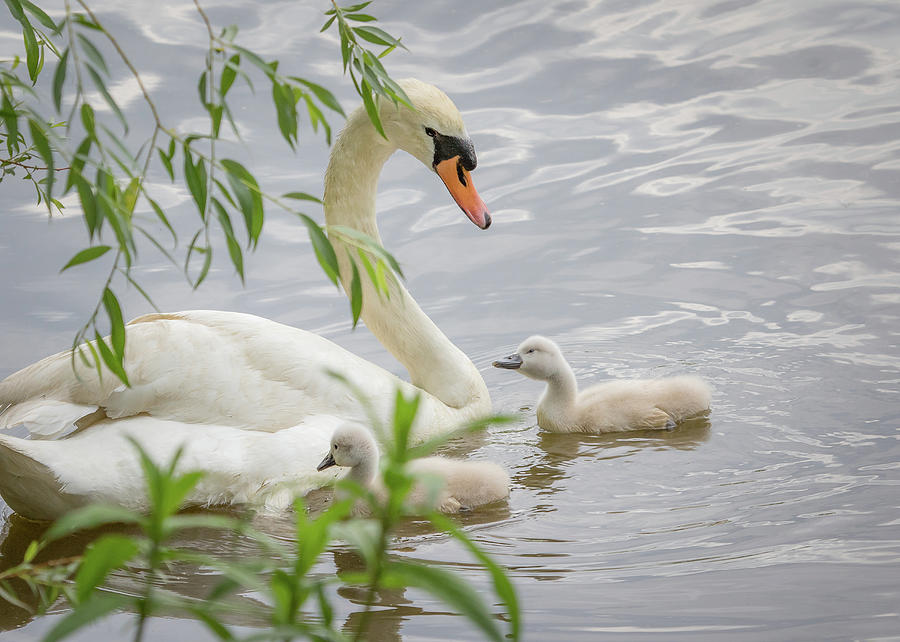 Swans on the pond by Joni Eskridge