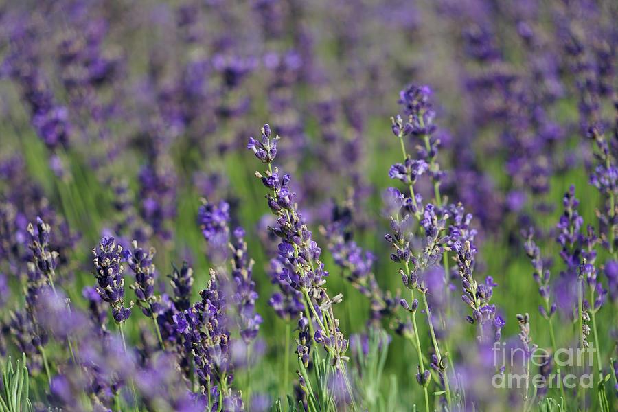 Sweet Morning Lavender Photograph