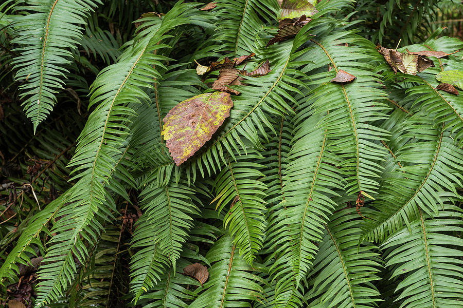 Sword Fern and Leaves by Robert Potts